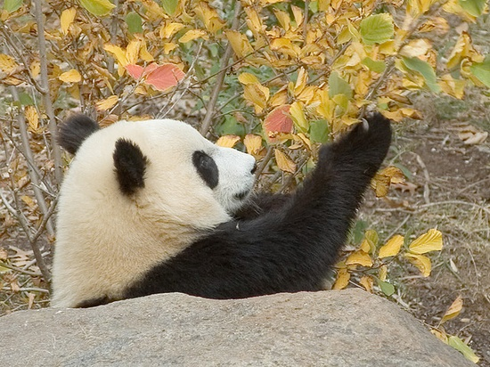 The Giant Panda...so majestic, so sweet. My favorite animal of all time!
