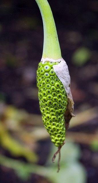 A lupin seedpod