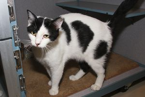 78615 'Moo Moo' is an adoptable Domestic Short Hair Cat in Aliquippa, PA. Tested negative for feline leukemia and fiv....
