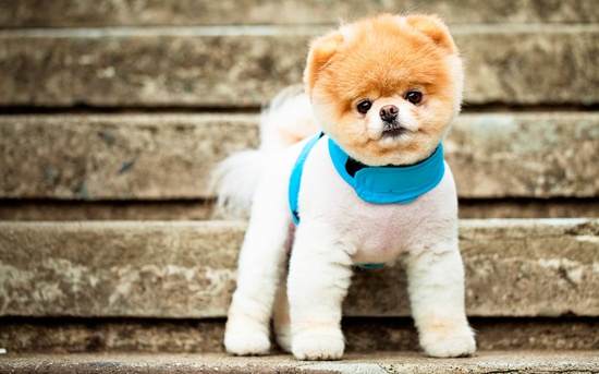 .Boo, the worlds cutest dog!