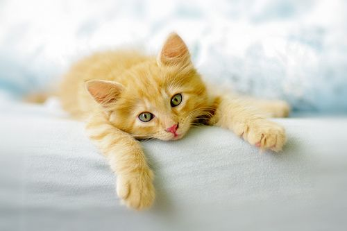 Sweet, sweet ginger kitty cuteness. #ginger #cat #kitty #kitten #cute #pets #animals