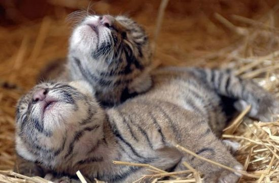 Cute baby tigers photo