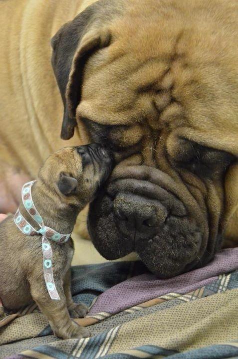 Bull mastiff mama and her itty-bitty puppy.
