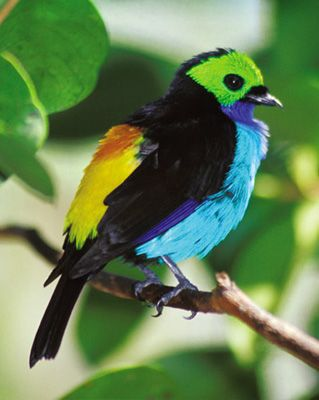 Paradise Tanager - Look at all those colors!
