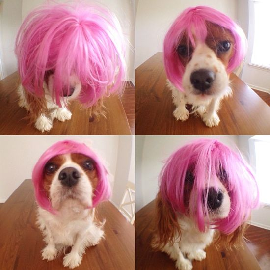 "@citydogphotography's photo: ""Which look should I go with for tonight?"" #friday #party #fridaynight #wig #pinkwig #funny #hairdo #cavalier #dressup #hairstyles"