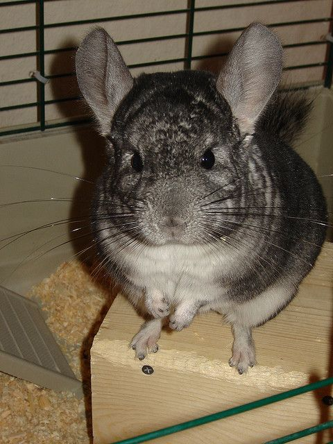 Cute Pet Chinchilla
