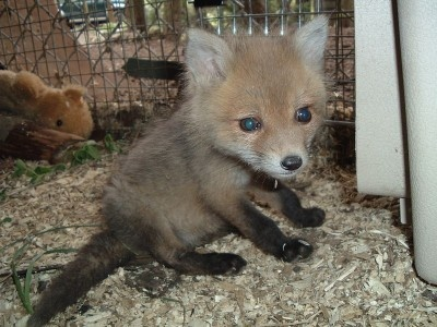 cute baby fox ?