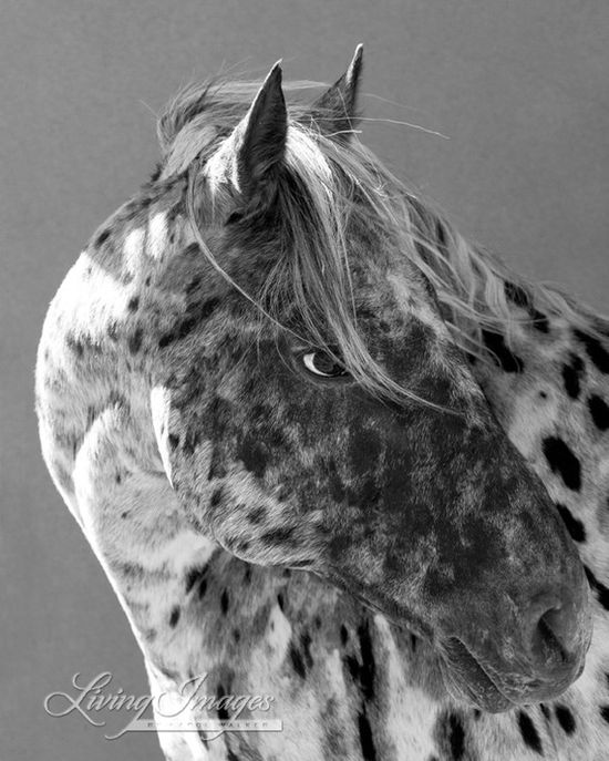 Leopard Appaloosa  Fine Art Horse Photography by WildHoofbeats
