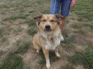 Tate is an adoptable Australian Shepherd Dog in Defiance, OH.