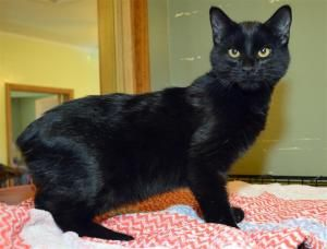Rue is an adoptable Domestic Short Hair-Black Cat in Plattsburgh, NY. Remus, Rue, Rochelle and Randi Sue were born to a stray Mom that someone was caring for.  They were weaned and it was time for the...