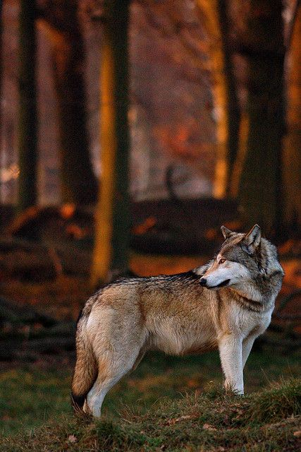 ~~Wolf in warm light by canis.rufus~~