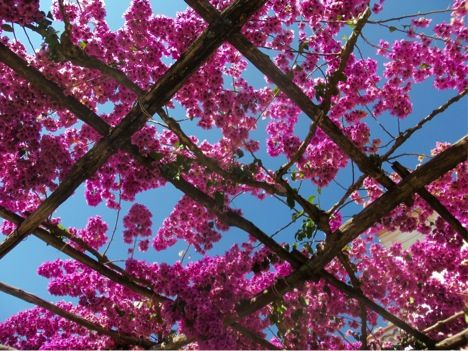 Se enamoro de bugambilias en Grecia ...  y Un día voy a Estar cubriendo Una glorieta en La Que