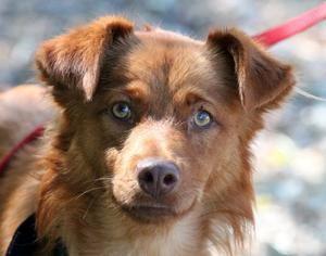 Huck is an adoptable Golden Retriever Dog in Elverta, CA.