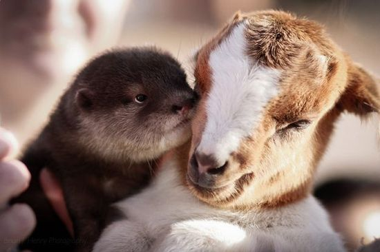A cute pair of unlikely friends... An otter and a goat! Melts my heart