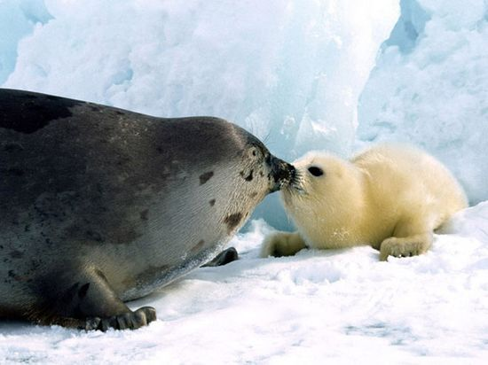 Cute baby seal photo