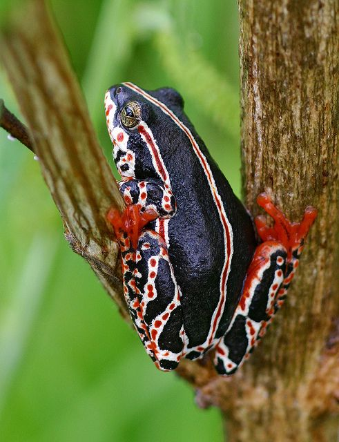African Painted Reed Frog (Hyperolius marmoratus) #frog #amphibian #nature