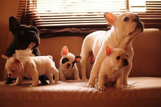 french bulldog family