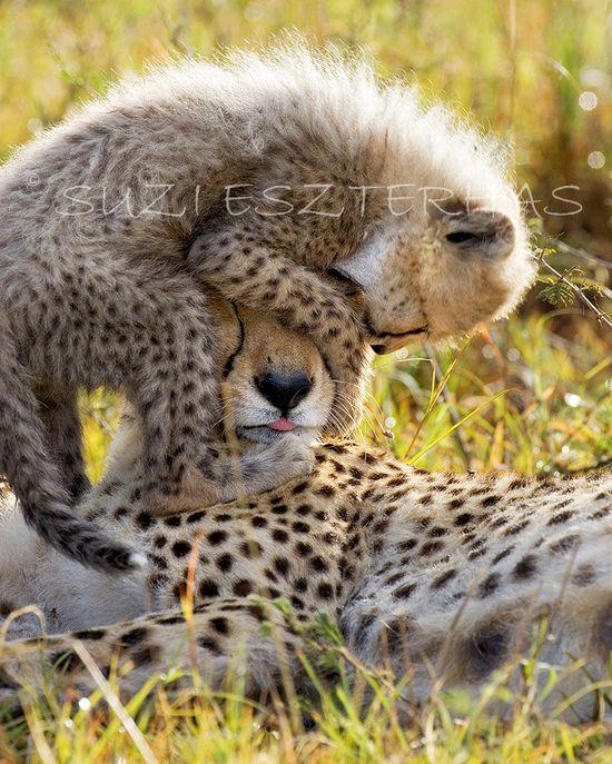 CHEETAH BABY PLAYING With Mom Photo- 8 X 10 Print - Baby Animal Photograph, Wildlife Photography, Wall Decor, Nursery Art, African Safari. $25.00, via Etsy.