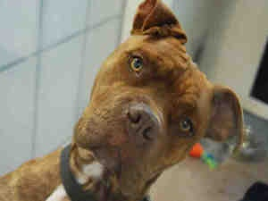DAISY DUKE is an adoptable Pit Bull Terrier Dog in Dedham, MA.