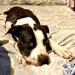 FERDINAND THE ELDER-BULL - American Staffordshire Terrier: An adoptable dog in Austin, TX - 7 yrs - If you are interested in Ferdie, or would like more information, please email mailto:adopt@love... or fill out an application at love-a-bull.org/....