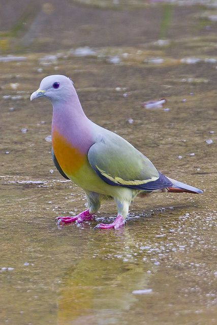 Pink-necked Green Pigeon (S E Asia).  Beautiful combination of colors.