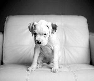 White Boxer puppy!! ?