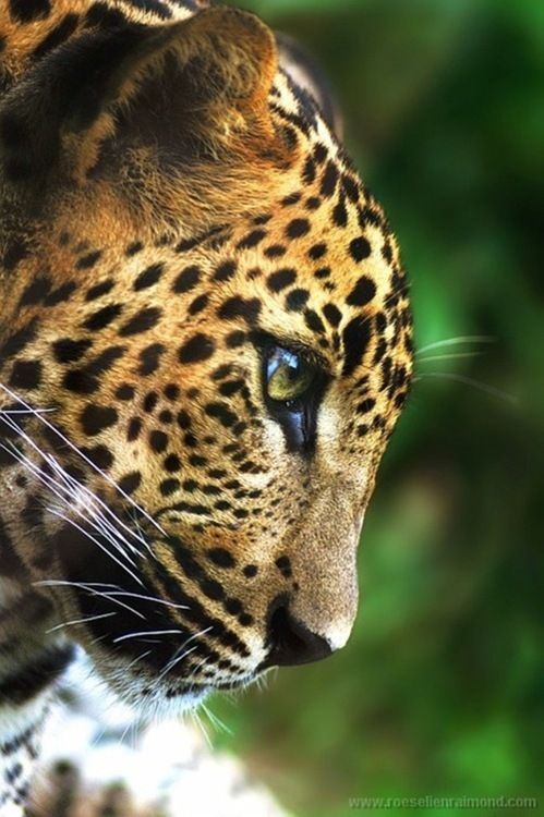 Big cats are my love!