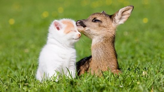 Kitten who is friends with a fawn
