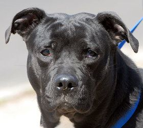 #555 Delta'Big Love' is an adoptable Black Labrador Retriever Dog in New Haven, CT. Three-year-old Delta was left in our dog run outside the shelter. She is a very large girl that loves to play. She k...