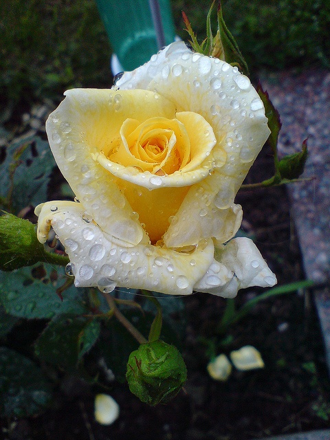 Lovely Pastel Yellow Rose