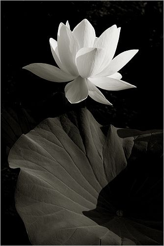 White Lotus Flower in Black-and-white - IMG_1920-bw by Bahman Farzad, via Flickr