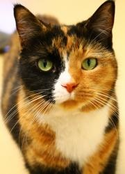 Phoebe is an adoptable Tortoiseshell Cat in Hamilton, OH. What a gorgeous cat! Phoebe was found as a stray and has turned out to be quite a cool cat. She is affectionate and loves to be held. Phoebe p...