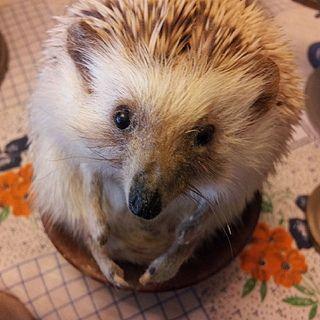 Erizo #erizo #cute #pet #love #instachile #hedgie #albino #sonic #instapet #animal #hedgehog #animaloftheday #me #ender #petsofinstagram #mi...