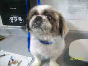 BUSTER is an adoptable Pekingese Dog in Brighton, CO.  ...