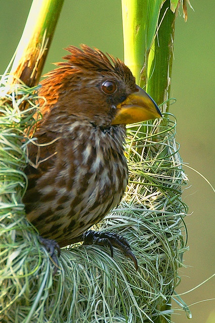 Thick-billed weaver (Amblyospiza albifrons) by Arno Meintjes Widlife