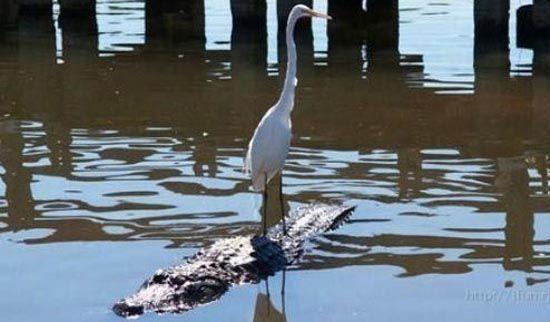 bad ass bird on alligator