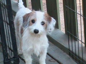 Dubsy (JA) is an #adoptable #Terrier #Dog in #Barrington, #RHODEISLAND. For more information about this dog, please contact his/her adoption coordinator: mailto:sophie.paw... Please send inquiries to this email ...