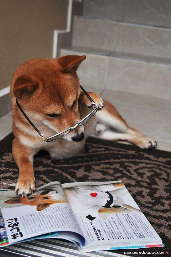 Shiba's are so intelligent they even read books!