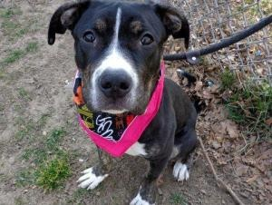 SALLEY is an adoptable Pit Bull Terrier Dog in New York, NY. A volunteer writes: From the moment I met little Salley, I knew she was something really special. It isnt just that shes incredibly frien...