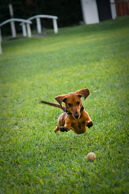 watching a weiner dog run is one of the funniest things in the world!
