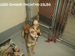 #WVIRGINIA #GassingShelter ~ Ginger is an #adoptable Shepherd mix dog in #Beckley - A young girl a little overwhelmed & frightened at being in a shelter instead of a loving home. Can you help her find a happy tail ?  #Adopt & #rescue at the HUMANE SOCIETY OF RALEIGH COUNTY 325 Gray Flats Rd Beckley WV 25802 mailto:rcpets@hot... P 304-253-8921