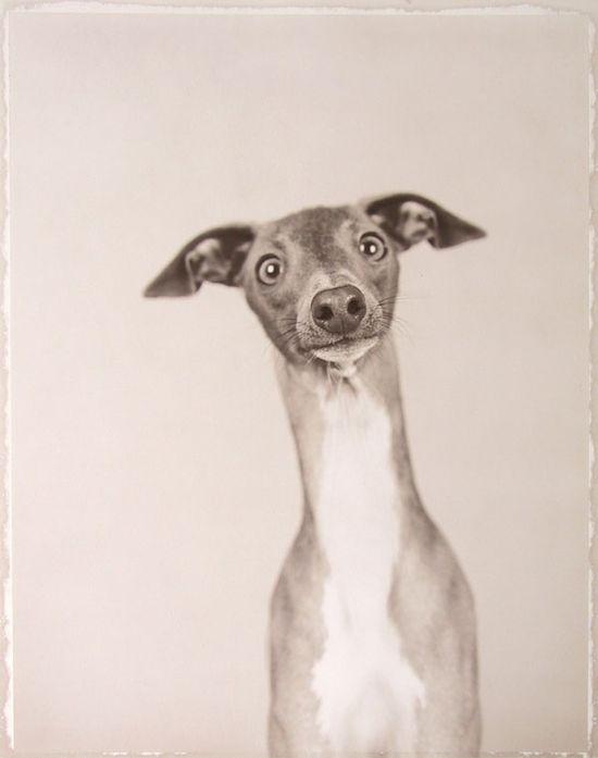 Italian Greyhound.