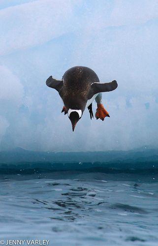 Gentoo Penguin dive
