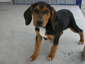 Moe is an #adoptable Basset Hound Dog in #Hartford #KENTUCK - The 3 stooges were brought into the shelter by their owner when he said he couldnt get rid of them (his words). These happy, healthy pups are 4 m...