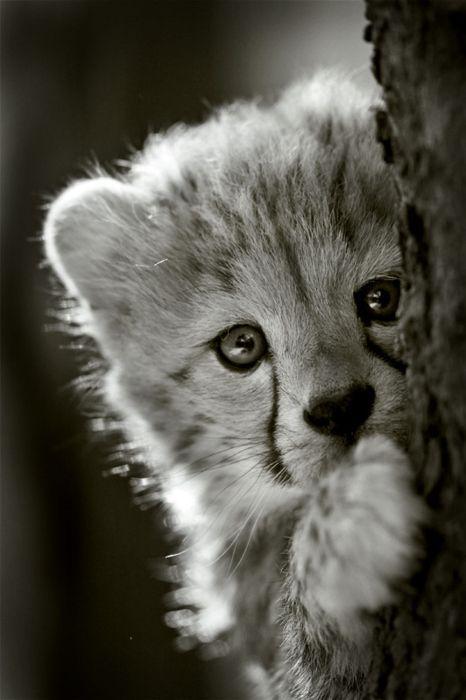 Cheeta cub hiding behind a tree.