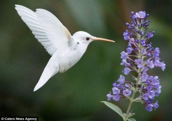 Rare albino ruby throated Hummingbird, photo from Staunton, VA.