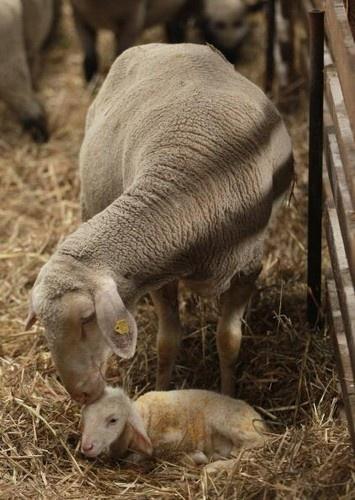a baby lamb. so cute!!!