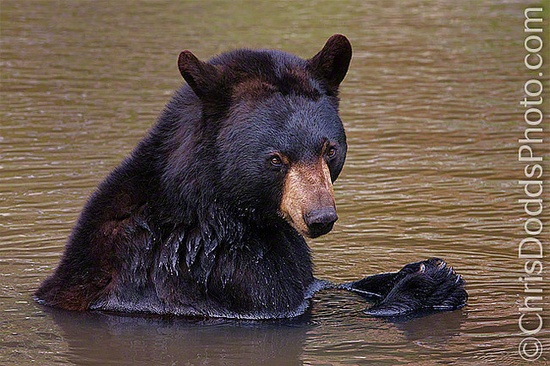 The Black Bear is exclusively North American. About 400,000 range from northern Mexico to the edge of the tree line in sub-artic Canada and Alaska.