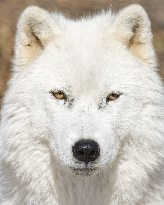 white wolf by Renald Bourque