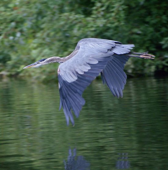Great Blue Heron swooping over water